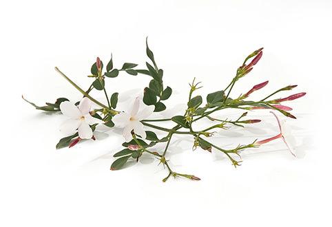 Jasmine flowers , buds and leaves.